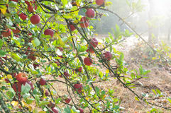 Apple tree in autumn Stock Images
