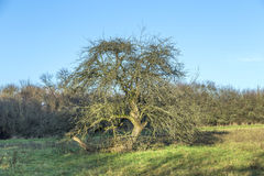 Apple tree in autumn under blue sky Royalty Free Stock Images