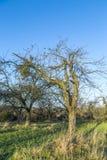 Apple tree in autumn under blue sky Stock Photos