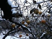Apple tree in autumn under snow stock photos