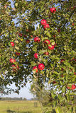 Apple Tree in Autumn. Royalty Free Stock Image