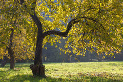 Apple tree in autumn. Stock Photography