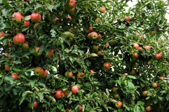 Apple tree background Royalty Free Stock Photography