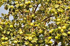 Apple tree background Stock Photography