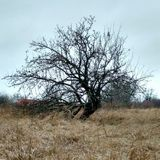 Apple tree. Royalty Free Stock Photography