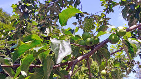 Apple tree bears fruit in the garden Royalty Free Stock Image