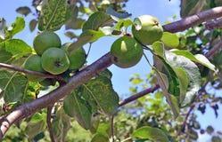 Apple tree bears fruit in the garden Stock Image