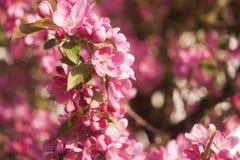 Apple tree. Beautiful blooming apple tree. macro photo Royalty Free Stock Images