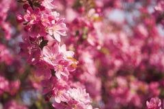 Apple tree. Beautiful blooming apple tree. macro photo Royalty Free Stock Photography