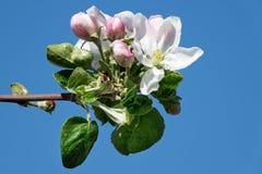 Apple Tree In Bloom Royalty Free Stock Image