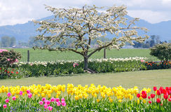 Apple Tree in Bloom royalty free stock images
