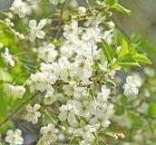 Apple tree in bloom. Spring apple tree in bloom with flowers Stock Image