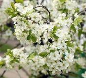 Apple tree in bloom. Spring apple tree in bloom with flowers Royalty Free Stock Photos