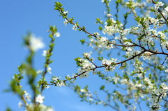 Apple tree in bloom. In spring Stock Photography