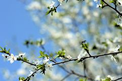 Apple tree in bloom. In spring Royalty Free Stock Photos
