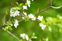 Apple tree in bloom Stock Photo