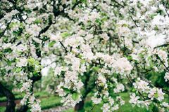 Apple tree in bloom Royalty Free Stock Photography