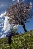 Apple tree in bloom. With blurred flower at the foreground; green meadow during spring Royalty Free Stock Images