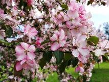 Apple tree in bloom stock image