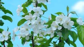 Apple-tree in bloom stock video footage