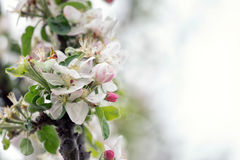 Apple tree in bloom Royalty Free Stock Photos