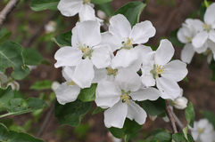 Apple tree in bloom. Apple tree in blossom white flowers Royalty Free Stock Image