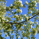 Apple tree bloom. Branches with beautiful white flowers Royalty Free Stock Photos