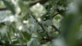 Apple tree in bloom changing focus video. Apple tree in bloom changing focus close up video on a sunny day stock footage