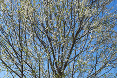 Apple tree in bloom, detail. Apple tree top in bloom with the bright blue sky background Royalty Free Stock Photos
