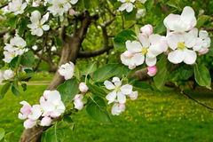 Apple tree in bloom Stock Image