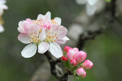 Apple tree in bloom Stock Images