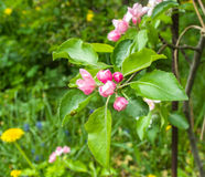 Apple tree in bloom. Garden Royalty Free Stock Photos