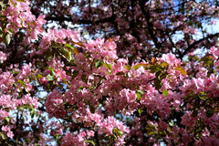 Apple tree bloom. Malus Niedzwetzkyana. Branches with delicate pink flowers Royalty Free Stock Images