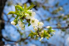 An apple tree in bloom in May stock photo