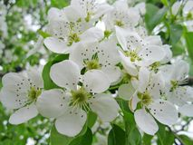 Apple tree in bloom. My apple bloomed in the garden, I like its flowering stock photo