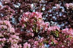 Apple tree bloom in spring. Malus Niedzwetzkyana. Stock Images