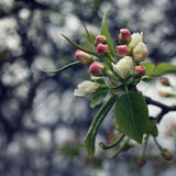Apple Tree Bloom. Spring season. Aged photo. Royalty Free Stock Photography