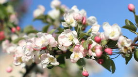An apple tree in bloom. Spring sunny day. Flowering tree in a park in spring. A bee on a flower stock video footage
