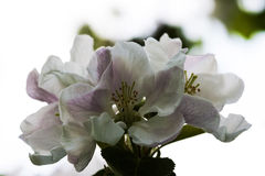 Apple tree bloom Stock Images