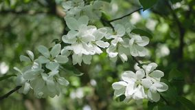Apple tree in bloom - a sunny day in a spring park. Spring mood - lush white flowers on the branches of trees stock video footage