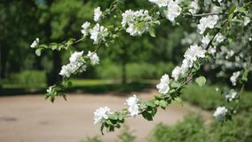 Apple tree in bloom - a sunny day in a spring park. Spring mood - lush white flowers on the branches of trees stock footage