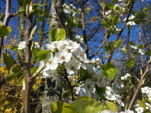 Apple tree blooming Royalty Free Stock Photos
