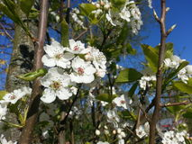 Apple tree blooming Stock Photos