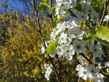 Apple tree blooming Royalty Free Stock Photo