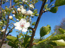 Apple tree blooming Royalty Free Stock Photography