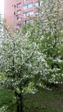 Apple tree, blooming in the city Stock Photo