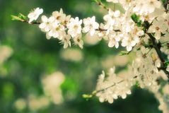 Apple tree blooming in early spring Stock Photos