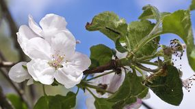The apple tree is blooming. The end of spring. The apple tree is blooming Royalty Free Stock Photo