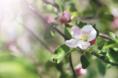 Apple tree blooming flower. Royalty Free Stock Photography