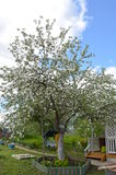 Apple tree. Blooming Apple tree near her house Stock Photos